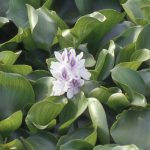 Eichhornia crassipes - Alain Dutartre