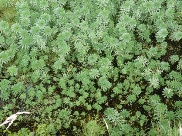 Myriophyllum aquaticum - Alain Dutartre