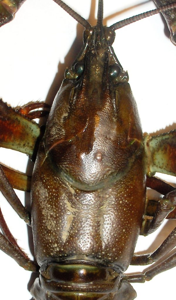 Pacifastacus leniusculus - cephalothorax - MARC COLLAS