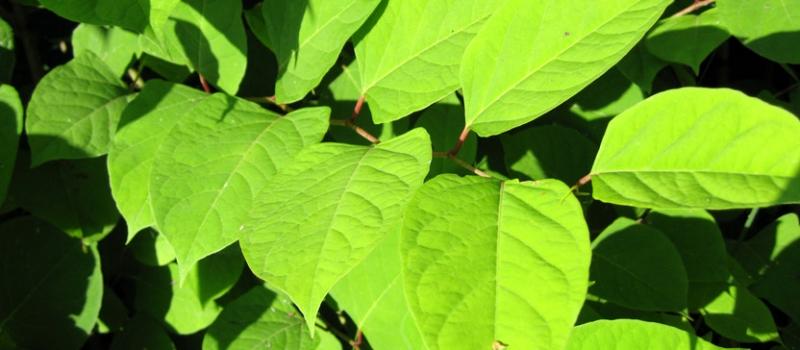 reynoutria-japonica-3-6-07-007_spigest